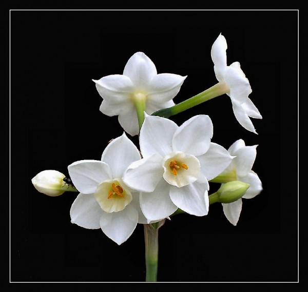Paperwhite Narcissus add color and fragrance to your cottage home.