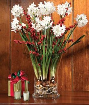paperwhites are a great flower for winter color and fragrance in your cottage home